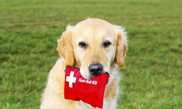 Golden retriever sitting outside on grass with first aid kit in mouth.