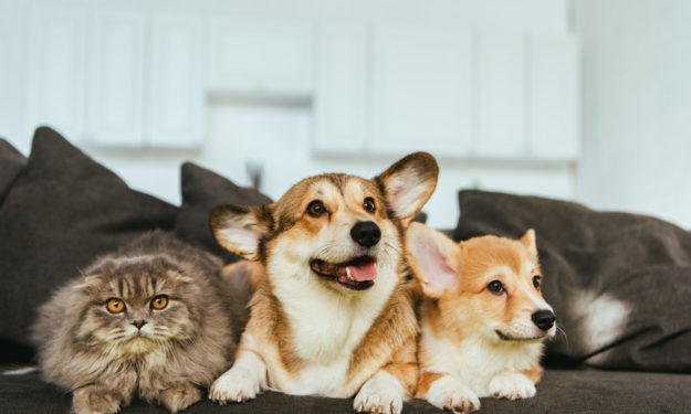 Two corgis on couch with cat happy and smiling