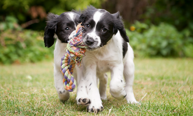 springer spaniel puppies playing with a rope toy
